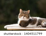 side view of a tabby white... | Shutterstock . vector #1404511799