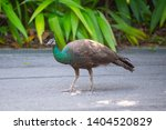 side view of a peacock on a... | Shutterstock . vector #1404520829