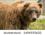 Enormous Male Brown Bear...