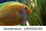 side view of unique goldfish... | Shutterstock . vector #1404556103