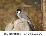 tiny bulbur bird perched on... | Shutterstock . vector #1404611120