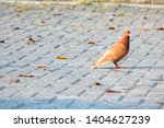 alone brown pigeon  columbidae  ... | Shutterstock . vector #1404627239