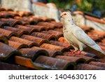 alone white pigeon  columbidae  ... | Shutterstock . vector #1404630176