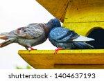 couple of brown pigeon ... | Shutterstock . vector #1404637193