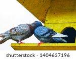couple of brown pigeon ... | Shutterstock . vector #1404637196