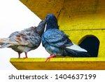 couple of brown pigeon ... | Shutterstock . vector #1404637199