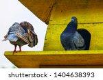 couple of brown pigeon ... | Shutterstock . vector #1404638393