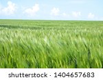 Green Field Of Young Wheat...