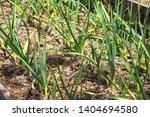 young green farm winter garlic. ... | Shutterstock . vector #1404694580