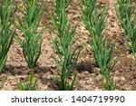 young green shallots growing in ... | Shutterstock . vector #1404719990