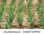 young green shallots growing in ... | Shutterstock . vector #1404719993