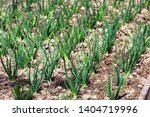 young green shallots growing in ... | Shutterstock . vector #1404719996