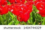 amazing view of colorful red... | Shutterstock . vector #1404744329