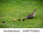 Baby Ducks Feeding With Mother
