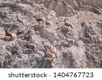 A Flock Of Bighorn Sheep Run U...