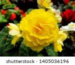 Beautiful Yellow Double Begonia ...