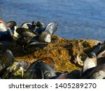 Mussels  Large New Zealand...