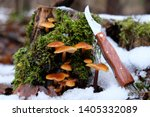 Small photo of Forest mushrooms - winter edible mushroom Flammulina velutipes in snowy forest with pocket knife. Also known as velvet shank. In Asian cuisine, it is known as enoki.