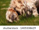 disheveled dog briard  french...   Shutterstock . vector #1405338629