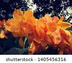 Canna Blooming In Summer Season.