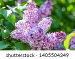 Lilac Blossom In Spring Scene....