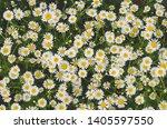 Flowering Marguerite Flowers Or ...