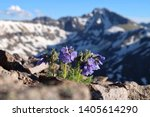 Small photo of Skypilot blossoms on Independence Pass. Snowy Sky Pilot flowers on rocks. Aspen. Colorado. United States of America