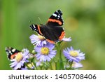 Red Admiral Butterfly...