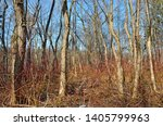 Small photo of Forest thicket with dense thickets.Trees grow thick.And on earth bushes with long branches.
