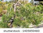 Pine Tree Bonsai Close Up