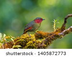 red faced liocichla on moss... | Shutterstock . vector #1405872773