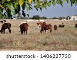 A Herd Of Cows Grazing In A Dry ...