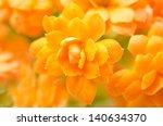 Kalanchoe Flowers Close Up...