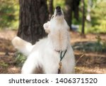 White Swiss Shepherd Dog. Berger Blanc Suisse White german shepherd. White german shepherd in the summer wood forest the dog howls and barks. Berger Blanc Suisse