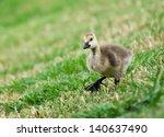 Canada Goose Gosling Walking O...