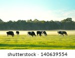 Dairy Cattle In Foggy Morning...