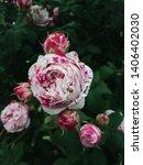 Bicolor Garden Rose In Full...