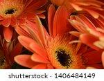 gerbera pink flowers  beautiful ... | Shutterstock . vector #1406484149