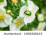 Wild Rose Flowers And Green...