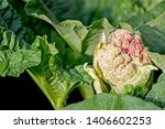 Rhubarb Plant With Flower In...