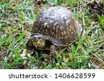 Close Up Of Box Turtle Eating ...