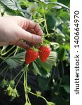 strawberry piccking in japan | Shutterstock . vector #140664970