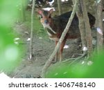 The horn or mouse deer is a...