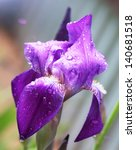 Violet Purple Iris Flower Clos...