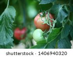 tomato plant growing in... | Shutterstock . vector #1406940320