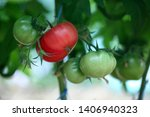 tomato plant growing in... | Shutterstock . vector #1406940323