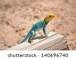 Eastern Collared Lizard Perche...