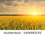 Ripe Rice Field And Sky...