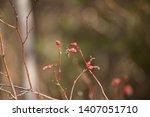 wild rose hips. rose hips in... | Shutterstock . vector #1407051710