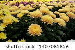 Chrysanthemum Pattern In...